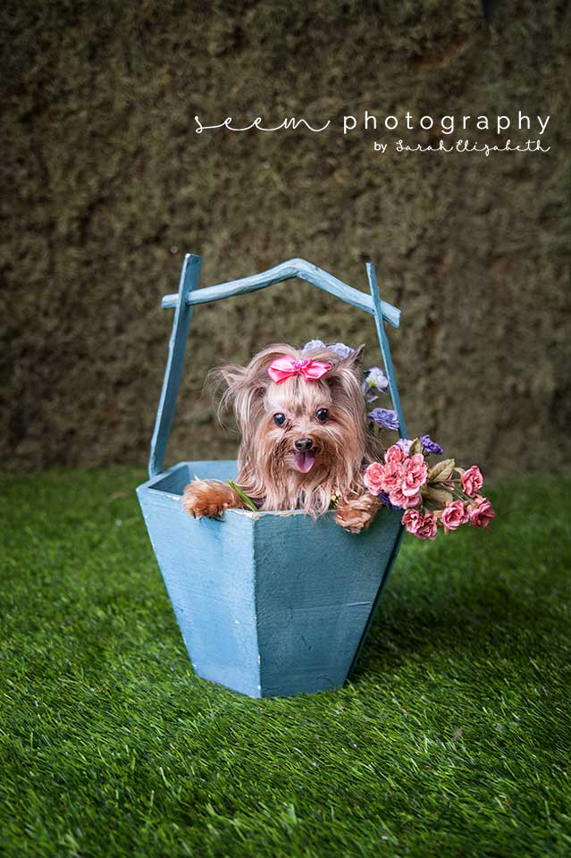 Houston Pet Photographers SEEM photography Dog in Bucket