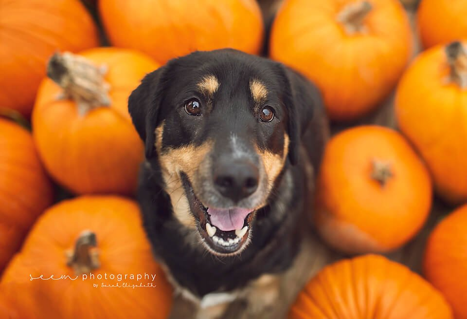 SEEM photography Dog in Pumpkin Patch